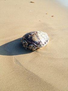 Dead sea turtle discovered near lagoon