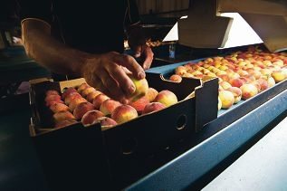 Peach growers at Spring Hill Orchard are angered by the ban of fruit fly pesticide, fenthion.