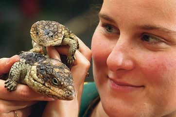 Armadale Reptile and Wildlife Centre volunteer volunteer Julie Chapman with a bobtail lizard. Picture: Marcelo Palacios www.communitypix.com.au d409550