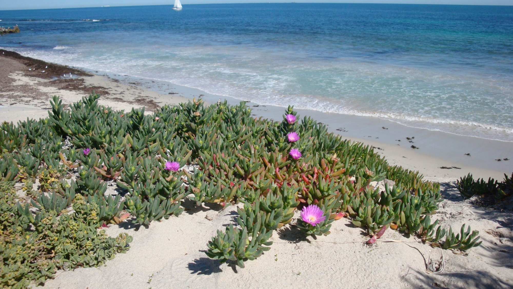 The native pink flowering pigface. Pictures: Stirling Natural Environment Coastcare