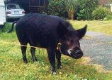 The lost pig that captured the hearts of Cloverdale residents recently.