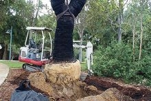 The grass trees going into the ground at Sir James McCusker Park in Iluka.