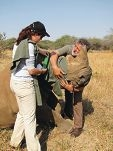 Student Maren Beeston helps South African vet Dr Cobus Raath (left) and Murdoch University vet students help steady a sedated rhino about to be dehorned.