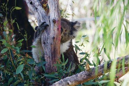 Koalas at Yanchep National Park. Picture: Emma Reeves www.communitypix.com.au d404988
