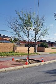 These Chinese elms have been planted along Forrest Road, replacing the marri trees that had become a hazard.