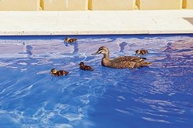 Ducklings make a splash at a pool display centre.