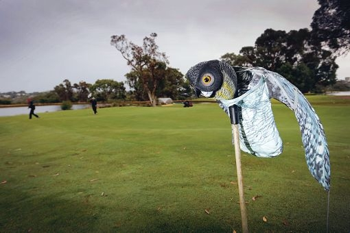 A $20 fake owl called Ollie has bluffed corellas into staying off the putting greens, when other measures proved ineffective.