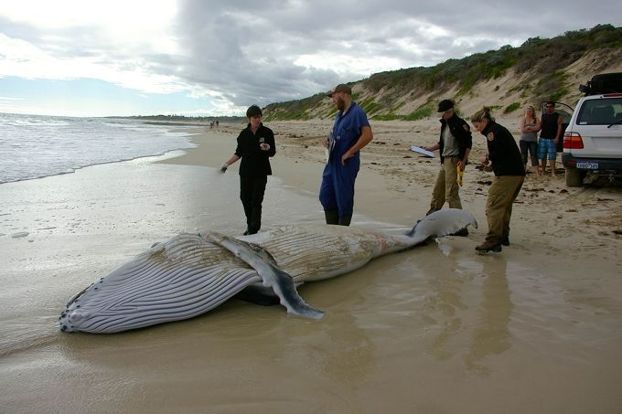 A Department of Parks and Wildlife team assess the humpback whale carcass this week.