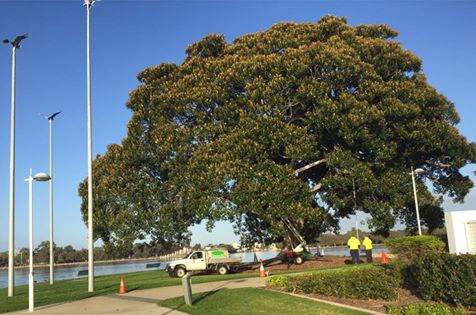 The City should not have removed the nests from this fig tree.
