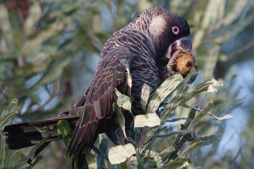 A Carnaby's black cockatoo.