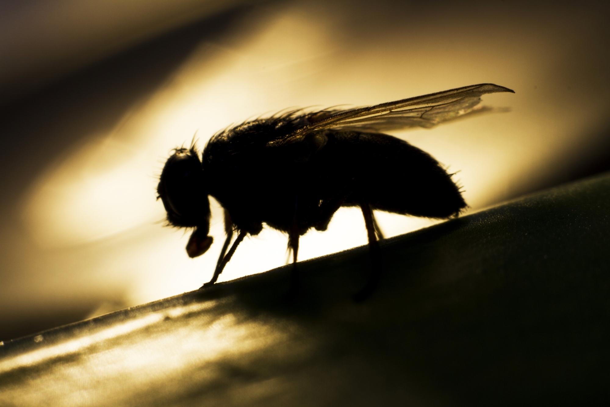 Growers worry fruit fly infestation could worsen.