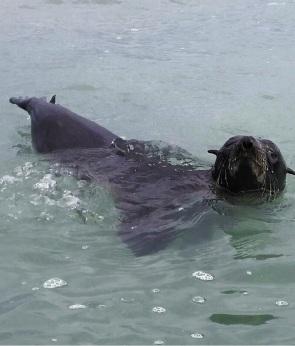 The seal at Quinns Beach. Picture: Suzie Fazackerley-Jones