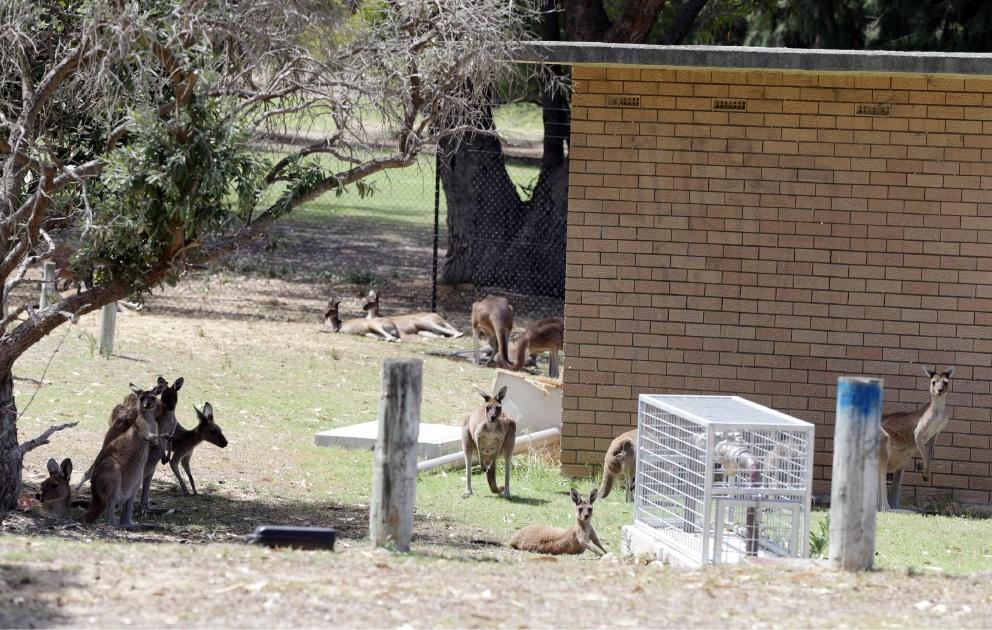 Kangaroos at Sun City Country Club.