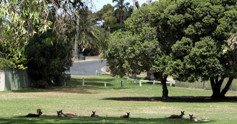 Landowners agree to fence kangaroos around Sun City Country Club in Yanchep.