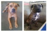 """Stolen pair Ceasar and Cleo were described as """"boyfriend and girlfriend"""" on the Dogs' Refuge Home website."""