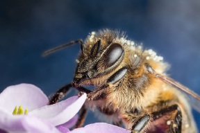Honey bee numbers are declining around the world. Picture: Ruedi Wittwer
