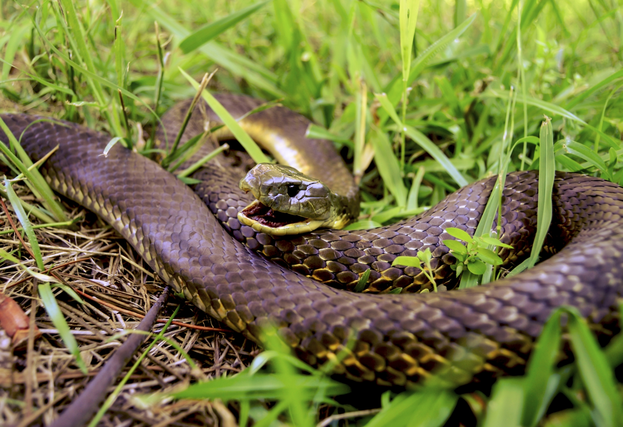 Tiger snakes are among those present in City of Stirling bushland.