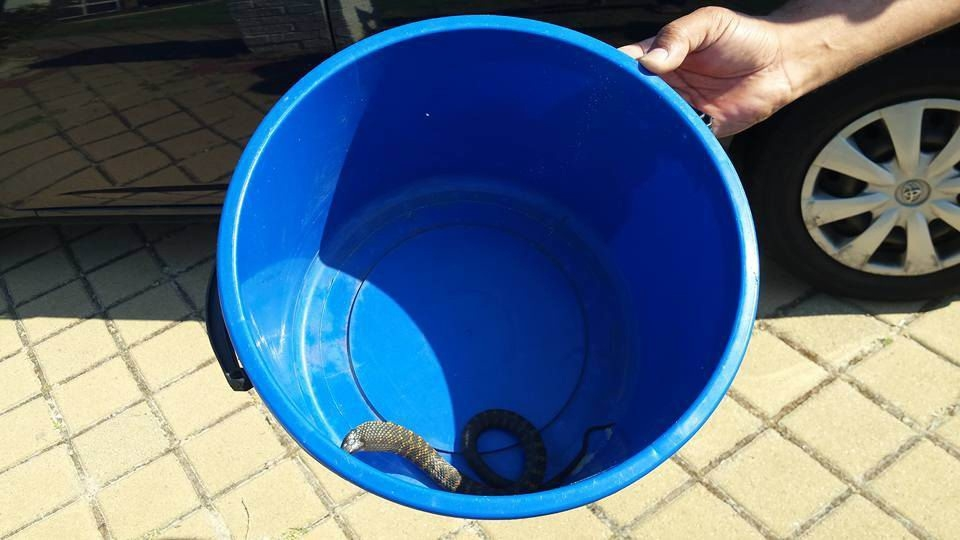 The tiger snake Lisa Martin found at her Bennett Springs home.