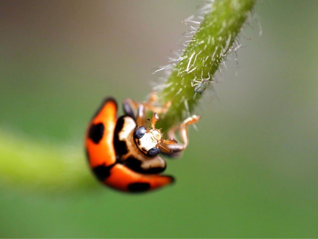 Sure they're pretty, but they're useful too:  Look out for ladybirds with bright orange, yellow or red wings and black spots this summer. Picture: James Niland