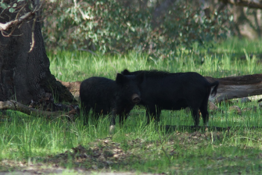 Geoff Chisholm spotted a family of six pigs in Neerabup National Park.