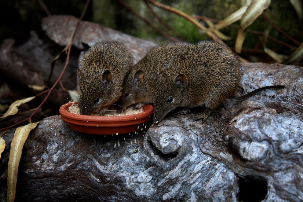 Young bandicoots have a feed at Native ARC. Picture: Marie Nirme www.communitypix.com.au   d456507
