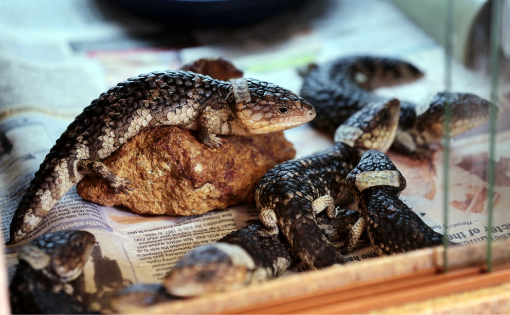 Kanyana Wildlife Rehabilitation Centre helping 60 bobtail lizards back to health