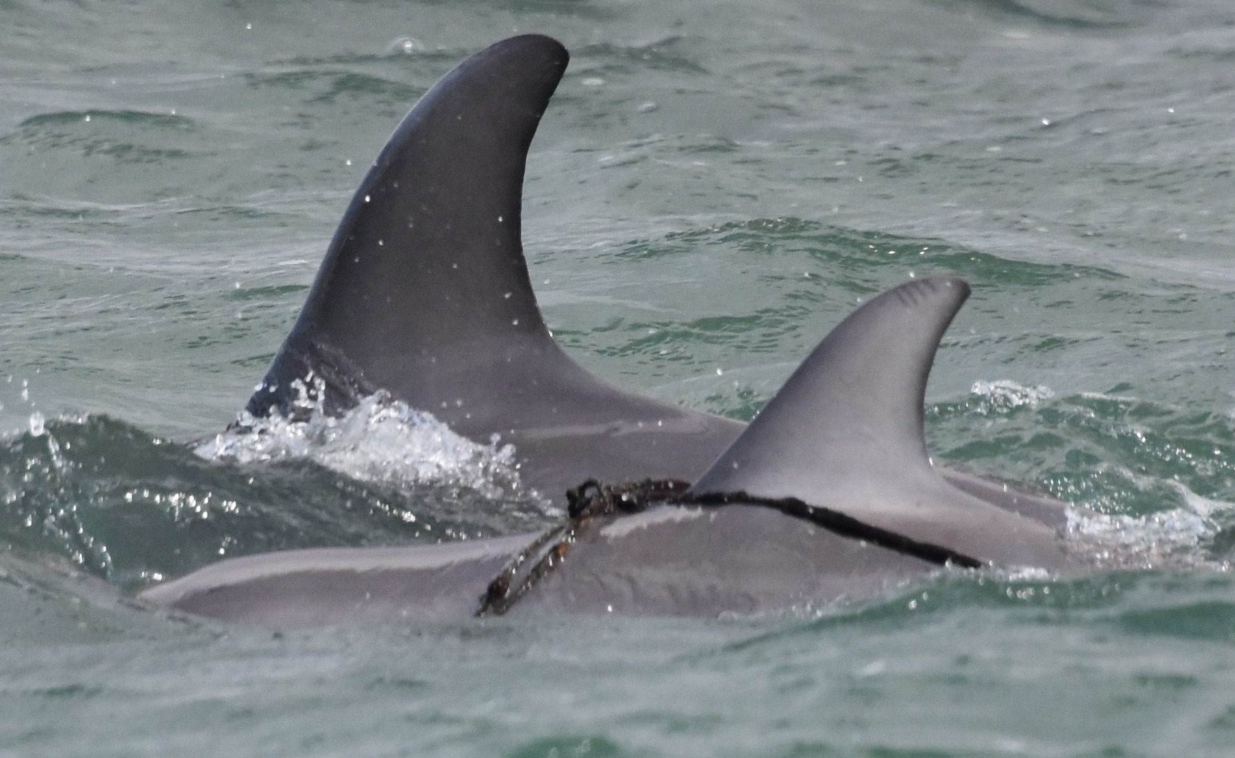 The dolphin calf. Picture courtesy Mandurah Dolphin Watch.