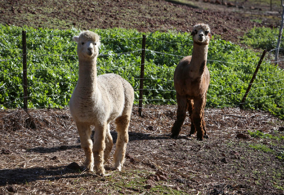 Alpacas have been attacked by dogs in the Swan Valley. |Picture: Matt Jelonek |www.communitypix.com.au   d456939