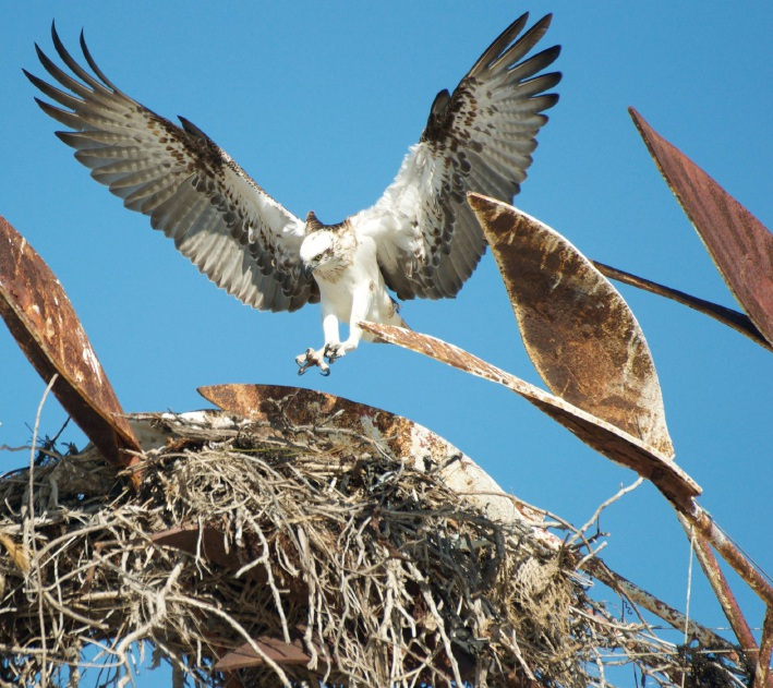 An osprey at the nest last breeding season. Picture: Cassie White