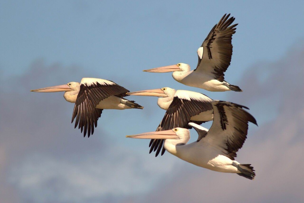 Cherilyn Corker won the Times Snap the Cover Competition with this photo Pelicans in Flight.