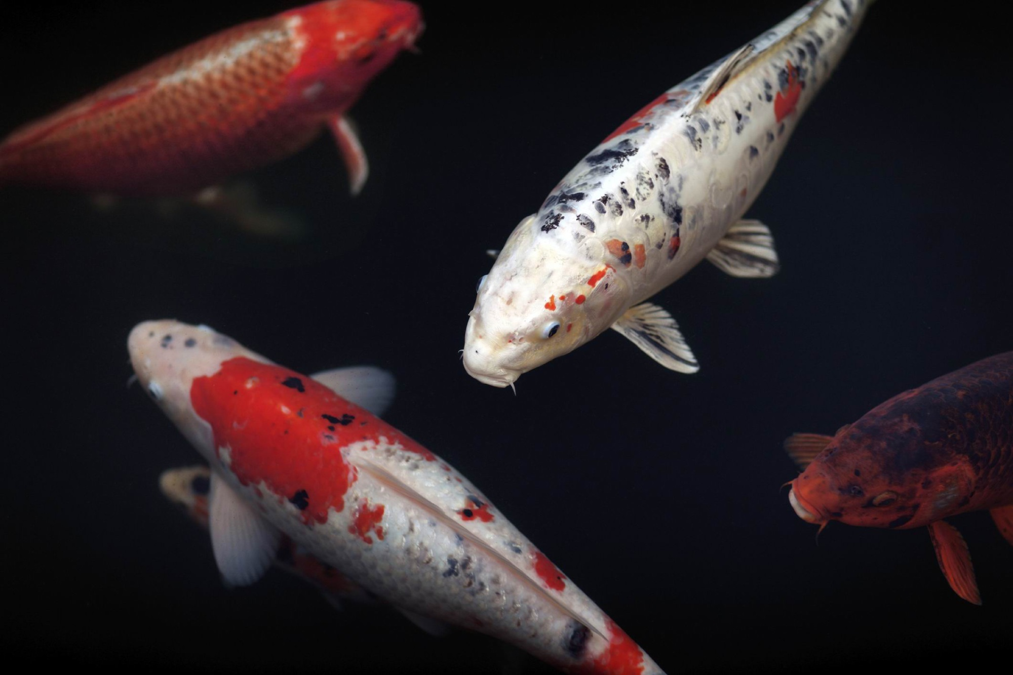 Don't be koi, get along to 26th annual Koi Society of WA show