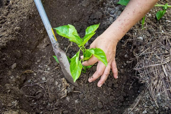 The man plants a paprika tree.
