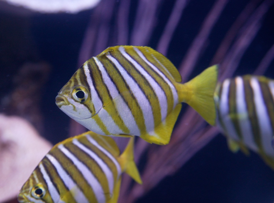 Footballer sweep fish make their mark with jersey-like colours.