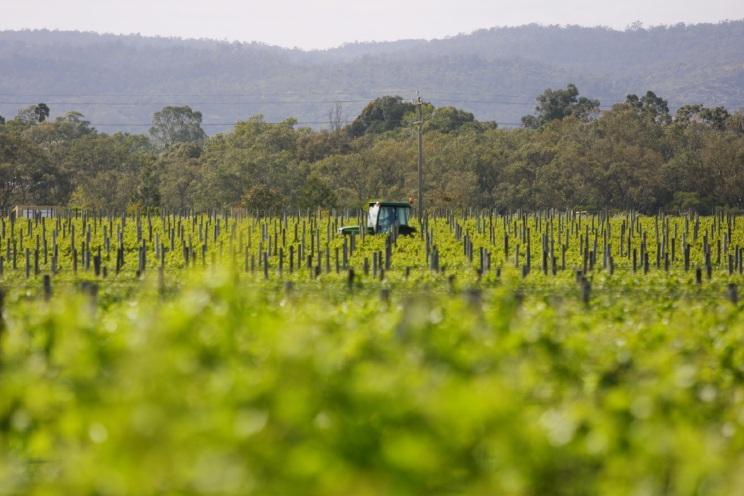 Vineyard in Swan Valley.