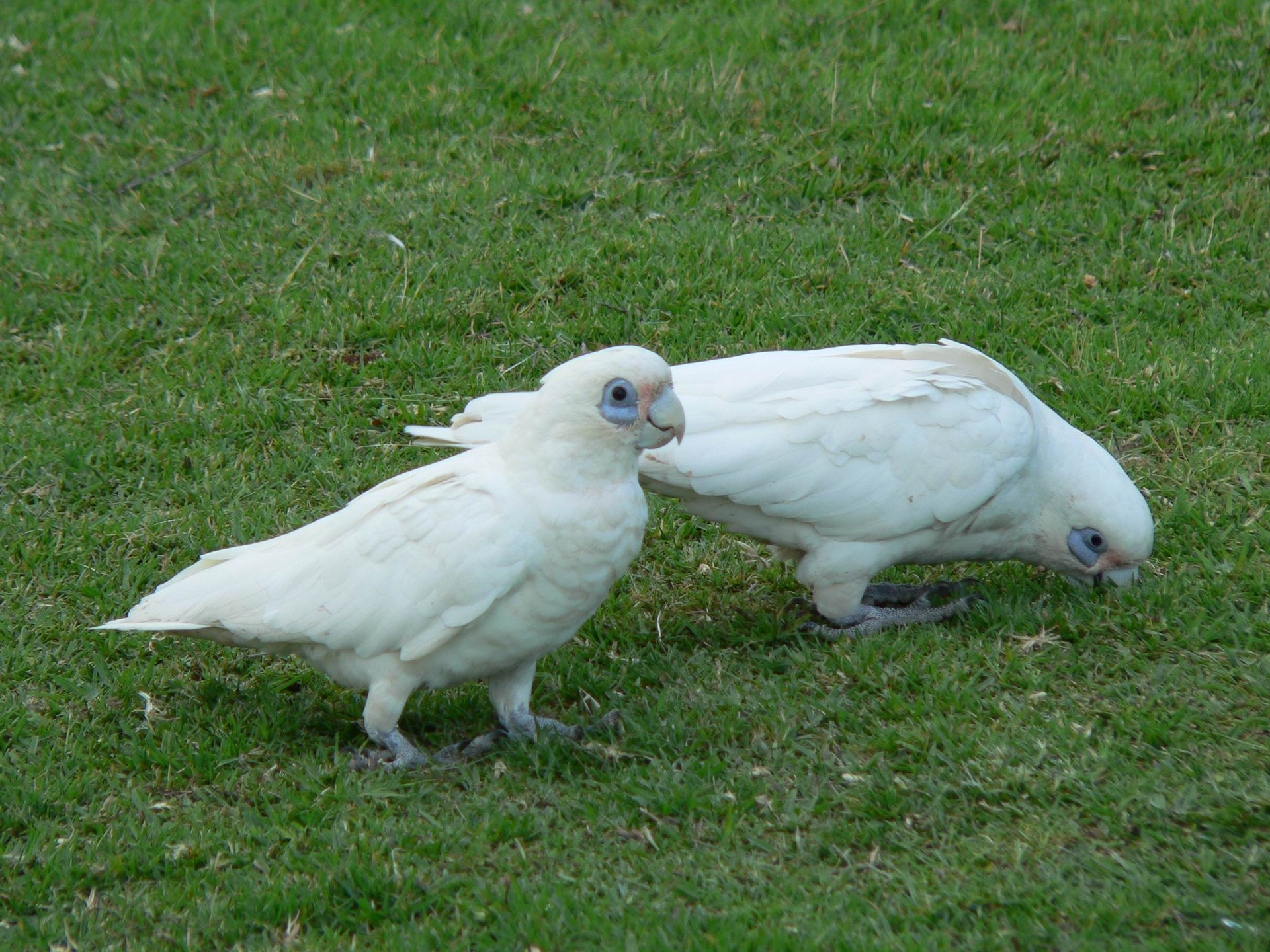 Little corellas at Perry Lakes. Picture: Frank O'Connor