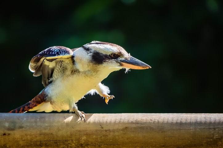 Man flees WA after kookaburra's death