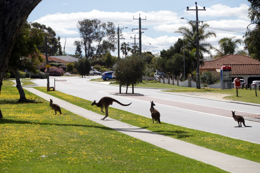 Kangaroos hit by cars and attacked after golf course fencing put up in Yanchep