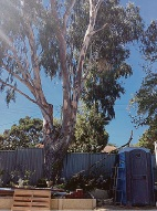 The River Red Gum or 'widow maker' tree at Links Court, Claremont