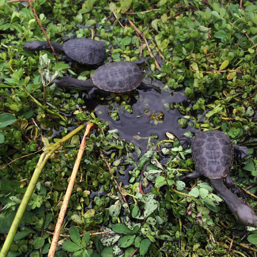 Seven oblong turtles were released into Bayswater wetlands at the weekend. Picture: Harriet Lynch