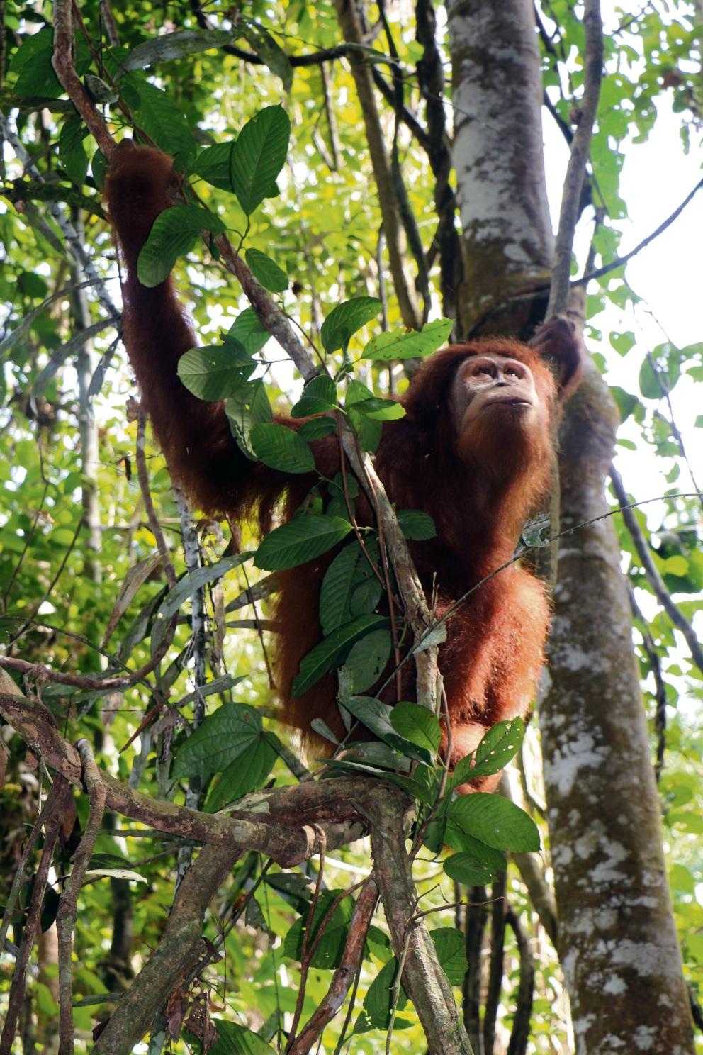 Perth Zoo releases orang-utan Nyaru into Sumatran rainforest