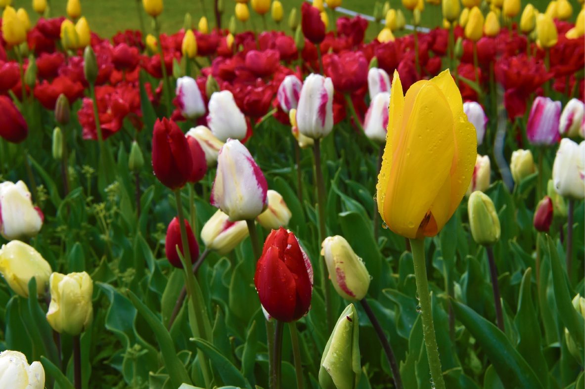 Araluen Springtime Festival: 125,000 tulips in blooming display