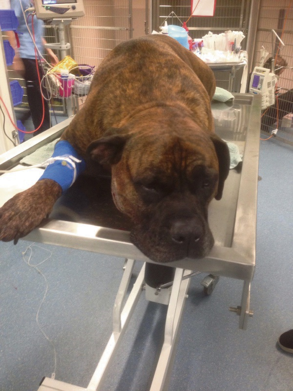 Hunter recovering in the vets after being shot on his family's property in Wandi.