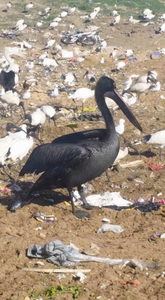 One of the black pelicans seen near local waterways. Pictures: Ian Beattie/John Caldwell