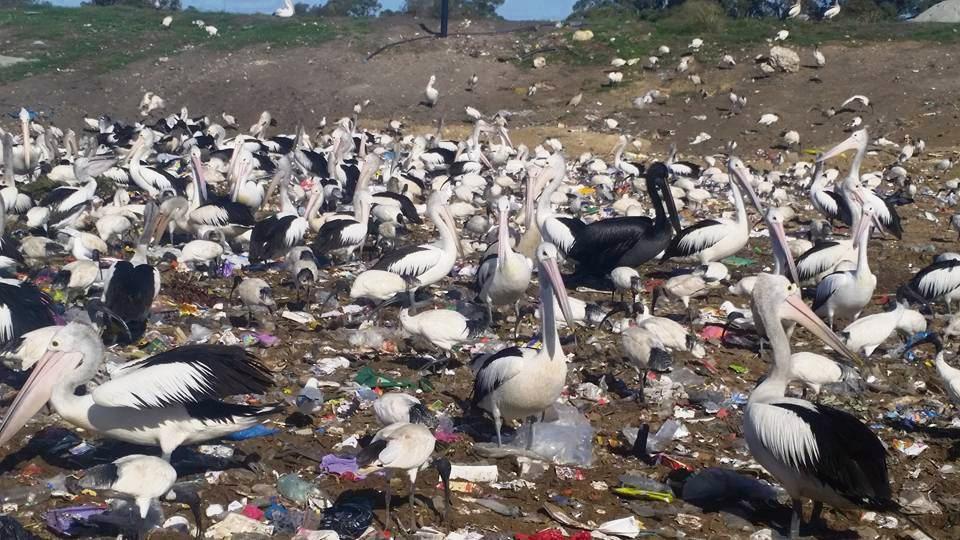 Black Pelicans are covered in oil, according to BirdLife Australia