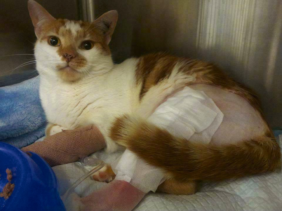 Nugget arrived at the Impound Feline Rescue service needing surgery for a badly broken leg.