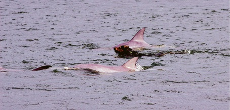 Rhodey regular swims out with dolphins in the Dawesville Cut. Pictures: Jarvis Eyes