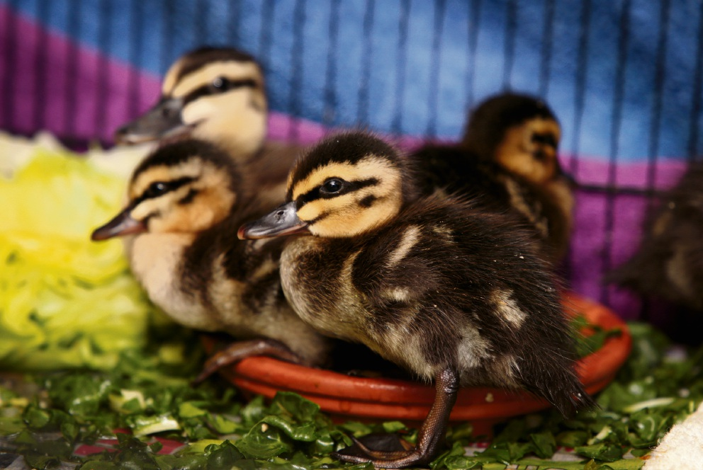 Duckling discover at Perth Stadium a timely reminder ahead of spring baby bird season
