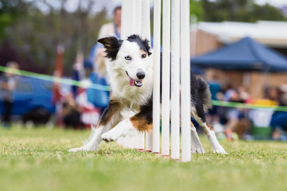 Agility displays will be among the attractions at the Dogs' Day Out in Kelmscott.