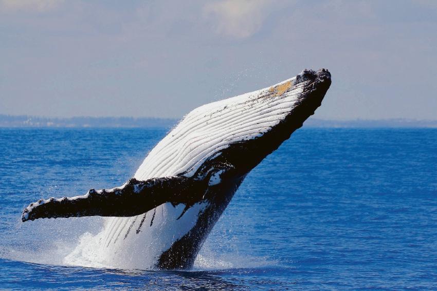Local humpback whales rushing back to Antarctica for feeding season