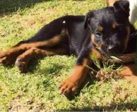 Jessica Witehira claims her family pet Jonah was stolen on Sunday night.